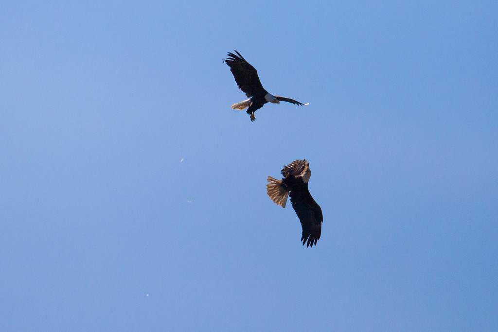 "SATURDAY, MAY 24, 2014<br /> <br /> BALD EAGLE 5896<br /> <br /> ""Eagle Acrobatics""<br /> <br /> Camera: Canon EOS 5D Mark II<br /> Lens: Tamron SP 150-600mm<br /> Focal length: 600mm<br /> Shutter speed: 1/8000<br /> Aperture: f/8<br /> ISO: 1000"