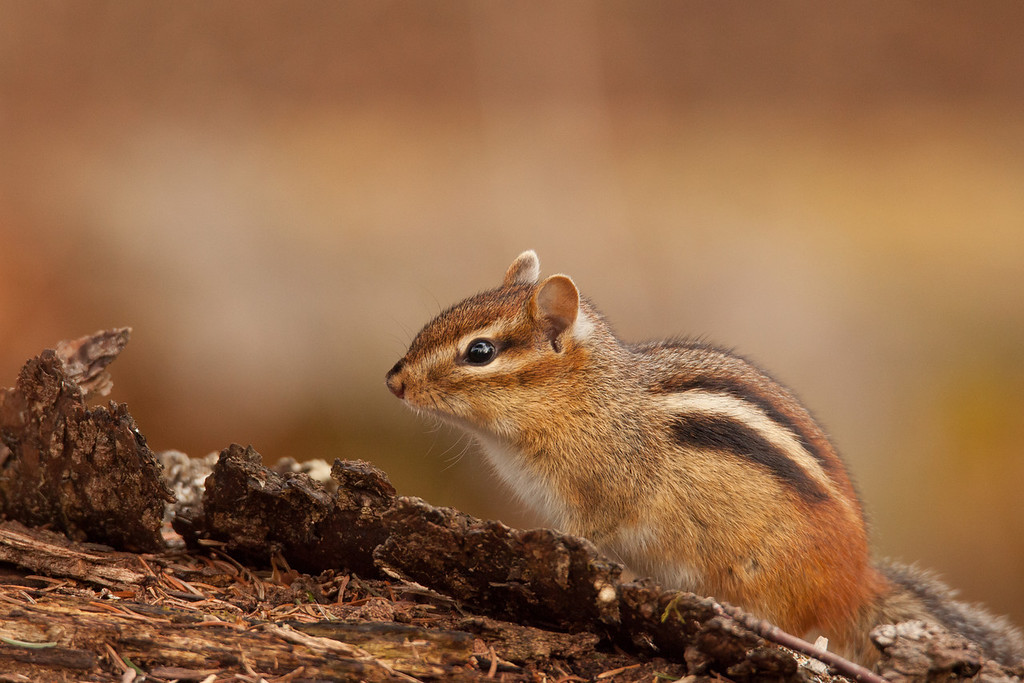 "THURSDAY, MAY 22, 2014<br /> <br /> ANIMALS BY LAND 5734<br /> <br /> ""Spring Chipmunk""<br /> <br /> I couldn't resist sharing this image of this cute little chipmunk that was scrounging around while I was photographing a drumming ruffed grouse.  It was actually an interesting interaction between the grouse and the chipmunk.  The grouse was sitting on his drumming log and every minute or so doing his drumming routine in an attempt to attract a mate.  In between drumming sequences I heard some leaves rustling and so did the grouse.  He became very alert on his log, scanning the surrounding forest for the source of the sound.  I was actually very intrigued as well, thinking that perhaps a female grouse was approaching.  We were both disappointed, I think, when this little chipmunk popped up over the side of another log.  The grouse saw the chipmunk and immediately turned away as if to say ""I can't believe I was fooled by that!""  The chipmunk went about his business and so did the grouse, resuming his drumming after another minute or two.<br /> <br /> Camera: Canon EOS 5D Mark II<br /> Lens: Tamron SP 150-600mm<br /> Focal length: 600mm<br /> Shutter speed: 1/125<br /> Aperture: f/7.1<br /> ISO: 2000"