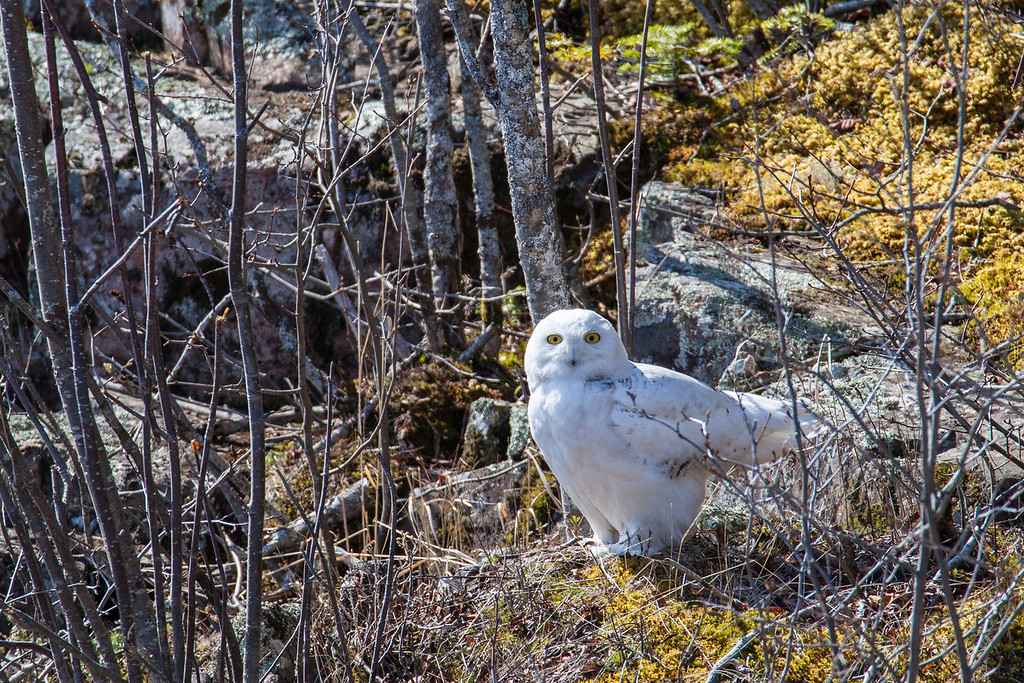 "WEDNESDAY, MAY 14, 2014<br /> <br /> ANIMALS BY AIR 5298<br /> <br /> ""Spring Snowy""<br /> <br /> Yesterday we saw something that we had hoped to see all winter but never did... a Snowy Owl!  We got a call from my dad in the morning saying that there was a snowy owl sitting on the rocks on the Lake Superior shoreline right out in front of his house.  We headed over there as quick as we could, realizing that he would probably be gone already but hoping that he might still be there.  Well, we were lucky and he was still there!  It's pretty unusual to see one of these owls even in the winter (the most likely time to see them), but especially unusual this close to summer.  We watched him from the patio doors of my parents house for about 5 minutes, then he flew off around the point and down the shore. It sure was a terrific start to our day!  <br /> <br /> Camera: Canon EOS 5D Mark II<br /> Lens: Tamron SP 150-600mm<br /> Focal length: 600mm<br /> Shutter speed: 1/1250<br /> Aperture: f/8<br /> ISO: 800"
