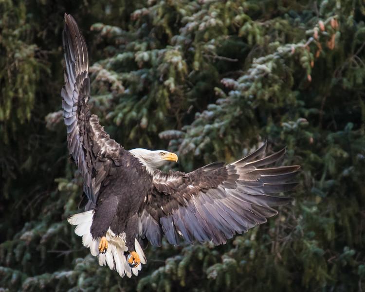 "TUESDAY, NOVEMBER 18, 2014<br /> <br /> ALASKA EAGLES 9673<br /> <br /> ""Chilkoot Lake Eagle 03""<br /> <br /> Camera: Canon EOS 7D Mark II<br /> Lens: Tamron SP 150-600mm<br /> Focal length: 600mm<br /> Shutter speed: 1/1600<br /> Aperture: f/6.3<br /> ISO: 2500"