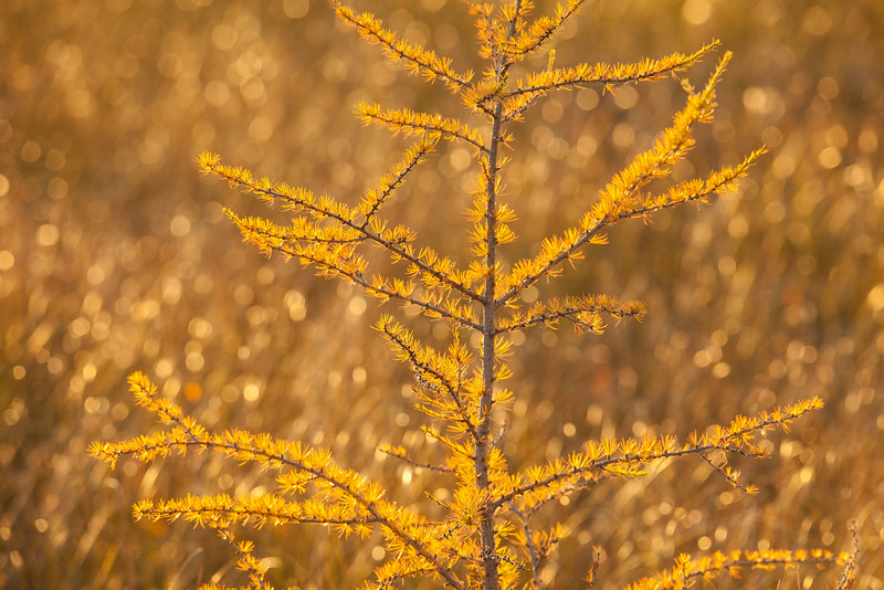"MONDAY, OCTOBER 13, 2014<br /> <br /> FOREST 0132<br /> <br /> ""Golden Tamarack""<br /> <br /> Here is another image from our evening walk at Big Bog State Recreation Area.  The lighting we had that evening was spectacular.  Everything was golden orange, accented not only by the seasonal color but also by the warm evening light.  This photo was made with my Tamron 150-600 lens at 375mm.  An aperture of f/8 gave me a shallow enough depth of field to give this scene the look I was going for.  Behind the tree was all this tall grass that was swaying in the breeze and the tips of the grasses were catching the evening light.  The narrow aperture turned those point of light into circles, which I thought really made for an eye-catching image.  I shot a video of this scene as well, and it is mesmerizing :-)<br /> <br /> Camera: Canon EOS 5D Mark II<br /> Lens: Tamron SP 150-600mm<br /> Focal length: 375mm<br /> Shutter speed: 1/320<br /> Aperture: f/8<br /> ISO: 800"