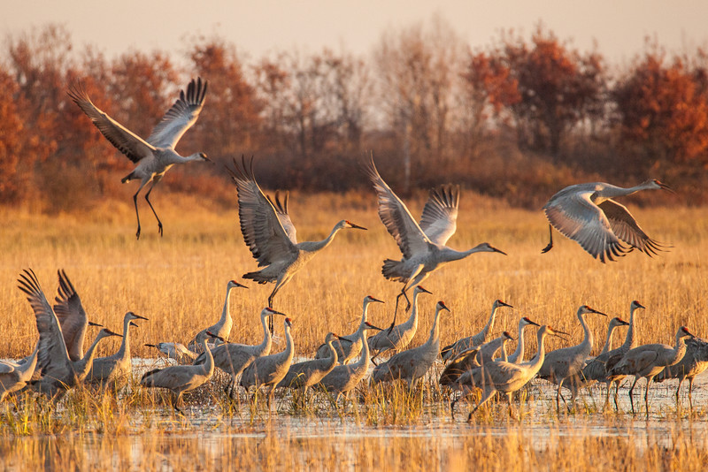 "FRIDAY, OCTOBER 31, 2014<br /> <br /> SANDHILL CRANES 0323<br /> <br /> ""Morning Cranes at Crex Meadows""<br /> <br /> Good Morning and Happy Halloween!  Here is a nice autumn image to celebrate the day :-)  A group of cranes taking flight in the morning light at Crex Meadows Wildlife Area in Grantsburg, Wisconsin.<br /> <br /> Camera: Canon EOS 5D Mark II<br /> Lens: Tamron SP 150-600mm<br /> Focal length: 600mm<br /> Shutter speed: 1/800<br /> Aperture: f/8<br /> ISO: 1600"