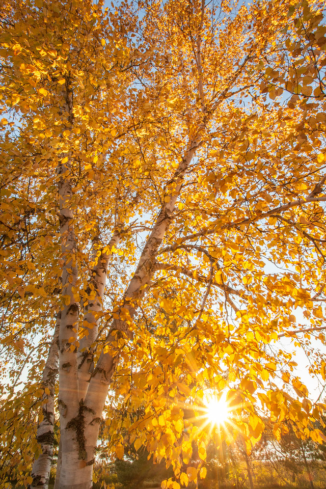 "SATURDAY, OCTOBER 11, 2014<br /> <br /> AUTUMN 0038<br /> <br /> ""Golden Birch""<br /> <br /> Itasca State Park, MN<br /> <br /> Camera: Canon EOS 5D Mark II<br /> Lens: Canon EF 17-40mm<br /> Focal length: 17mm<br /> Shutter speed: 1/30<br /> Aperture: f/22<br /> ISO: 800"
