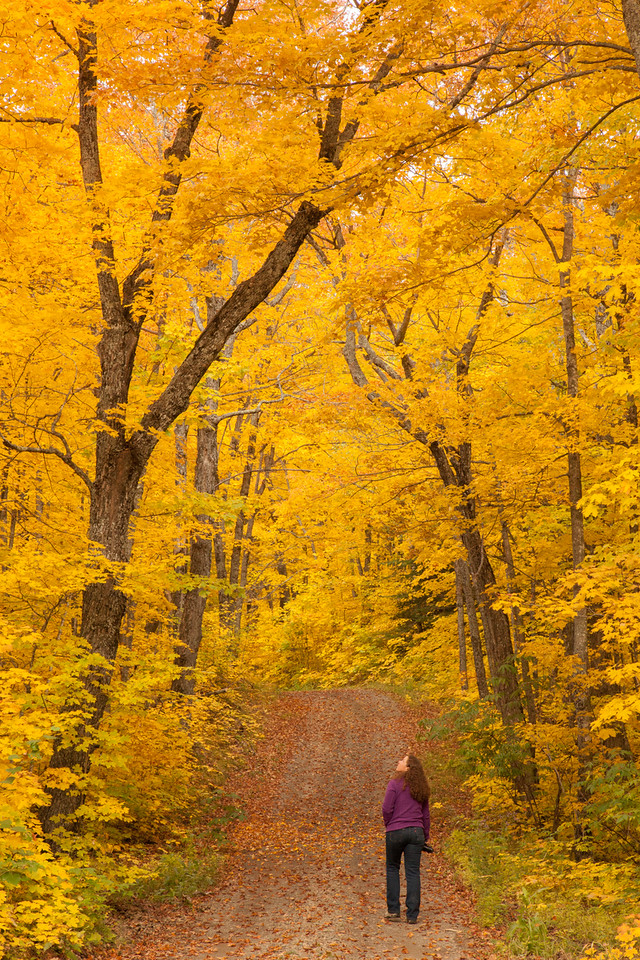 """SUNDAY, SEPTEMBER 28, 2014<br /> <br /> AUTUMN 9891<br /> <br /> """"A walk through the maples""""<br /> <br /> I hate to say it, but the best of the maple color has already come and gone (in Grand Portage, at least). The peak maple color this year was extremely short-lived.  Seven days ago the trees shown in this photo were still 90% green.  This photo was made 4 days ago.  Today, only about 25% of the leaves remain on these trees, the rest have fallen.  It was the shortest-lived peak maple season that I can remember.  There is still a lot of glorious color to be found out there, but the maples are almost done. Now the best color will be in the birch, aspen and tamarack.  The best locations for color will be shifting down towards the Lake Superior shoreline.  Even though the maple color is almost done, don't let that discourage you as there is still plenty of good color out there in the other trees.  So, get out there and take a walk in the woods and enjoy this most colorful of seasons :-)<br /> <br /> Camera: Canon EOS 5D Mark II<br /> Lens: Canon EF 24-105mm<br /> Focal length: 90mm<br /> Shutter speed: 1/80<br /> Aperture: f/16<br /> ISO: 1000"""