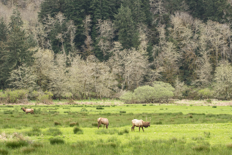 "FRIDAY, APRIL 3, 2015<br /> <br /> OREGON 2912<br /> <br /> ""Roosevelt Elk""<br /> <br /> When it comes to photography, I love surprises.  Things that you didn't expect are sometimes the things that you enjoy the most.  For instance, when we first visited Jessica's dad in Reedsport, Oregon back in 2012, I had no idea that you could photograph elk in a beautiful valley setting just a few miles from the Pacific coast!  But, lo and behold, there is a valley along the Umpqua River where the elk are almost always present.  The Dean Creek Elk Viewing Area is the year-round residence for a herd of about 100 Roosevelt Elk. A mild winter climate and abundant food allow the animals to remain in the area all year.  The viewing area has a wonderfully maintained side road off the main highway with lots of room to stop and view the elk.  We enjoyed a beautiful afternoon here while the elk basked in the warmth of the spring sun.<br /> <br /> Camera: Nikon D750<br /> Lens: Tamron SP 150-600mm<br /> Focal length: 150mm<br /> Shutter speed: 1/160<br /> Aperture: f/16<br /> ISO: 800"