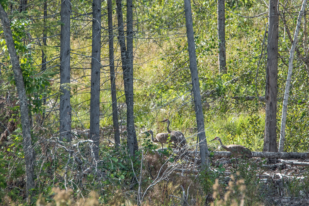 """MONDAY, AUGUST 17, 2015<br /> <br /> SANDHILL CRANES 8534<br /> <br /> """"Sandhill Cranes along Otter Lake Road""""<br /> <br /> Camera: Nikon D750<br /> Lens: Tamron SP 150-600mm<br /> Focal length: 600mm<br /> Shutter speed: 1/800<br /> Aperture: f/11<br /> ISO: 800"""