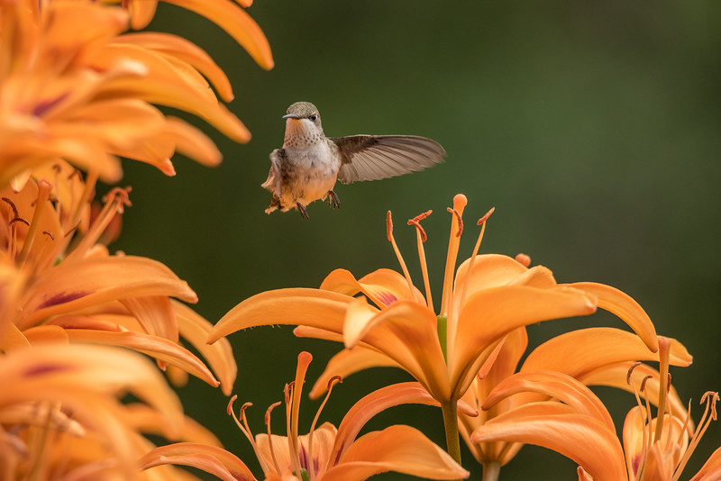 "FRIDAY, AUGUST 7, 2015<br /> <br /> HUMMINGBIRDS 8175<br /> <br /> ""Hummingbird in the Lily Garden""<br /> <br /> Here is another batch of photos from the hummingbirds that have been frequenting our flower gardens.  I cannot say enough how much fun it is to watch and photograph these birds as they roam around the flowers.  Definitely one of the most fun situations that I've photographed in quite some time!  I've noticed them perching in various areas around the yard in between their feedings on the lilies.  One of their favorite perches is on the young maple that we planted last year.<br /> <br /> Camera: Nikon D750<br /> Lens: Tamron SP 150-600mm<br /> Focal length: 600mm<br /> Shutter speed: 1/2000<br /> Aperture: f/10<br /> ISO: 1600"