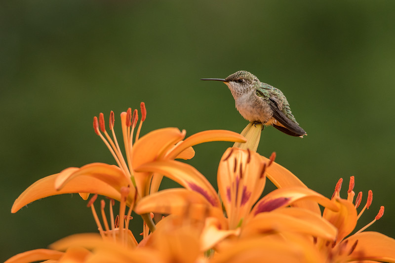 "FRIDAY, AUGUST 7, 2015<br /> <br /> HUMMINGBIRDS 8135<br /> <br /> ""Hummingbird in the Lily Garden""<br /> <br /> Camera: Nikon D750<br /> Lens: Tamron SP 150-600mm<br /> Focal length: 600mm<br /> Shutter speed: 1/2500<br /> Aperture: f/10<br /> ISO: 1600"