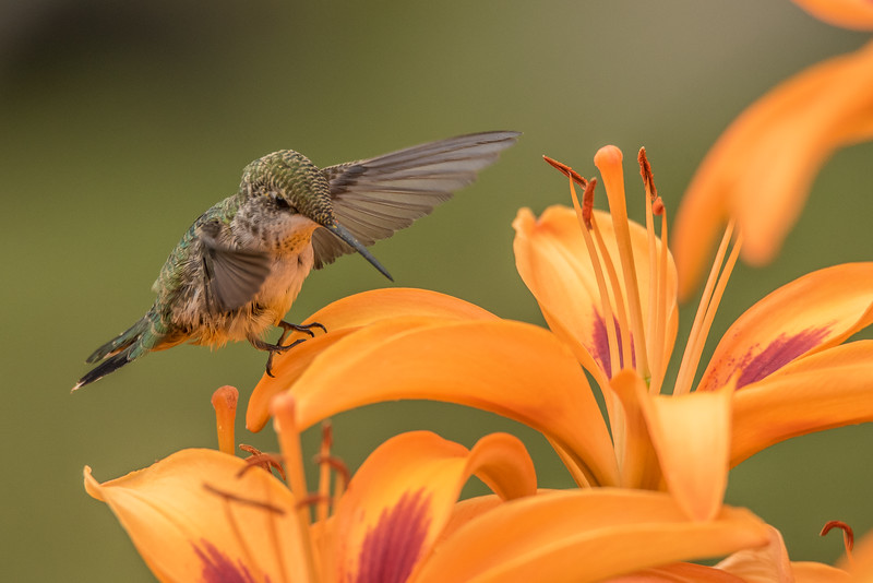 "WEDNESDAY, AUGUST 5, 2015<br /> <br /> HUMMINGBIRDS 7936<br /> <br /> ""Lily Lover""<br /> <br /> I've been having a ton of fun yesterday and again this morning photographing the hummingbirds in our lily garden in front of the house.  About a week or so ago Jessica noticed that there was a pair of hummingbirds hanging around in random places around our yard.  We noticed them feeding from the lily garden now and then, but they didn't really hang around in it a lot until yesterday.  I was watering our raised garden beds yesterday morning and I noticed this pair of hummingbirds zipping around in between the beds.  They even landed on the ground a few times.  <br /> <br /> Then as I was watering the lily bed they were all over in it, sipping nectar from all of the flowers.  They would work their way around the bed, then disappear for a few minutes and come back to work the bed over again.  They did this for most of the day and have been doing it again today.  It's tricky getting a good shot of them as they generally don't sit still for more than a brief moment.  Every now and then, though, they would actually land on one of the petals and stay there for just a second longer than usual.  That is when I made this shot.  They are such fascinating little birds and it sure has been fun seeing them enjoy our flower garden!<br /> <br /> Camera: Nikon D750<br /> Lens: Tamron SP 150-600mm<br /> Focal length: 600mm<br /> Shutter speed: 1/1600<br /> Aperture: f/10<br /> ISO: 1600"