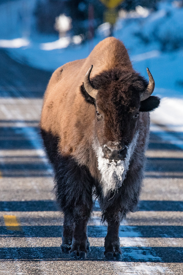 "FRIDAY, DECEMBER 4, 2015<br /> <br /> WYOMING 4879<br /> <br /> ""Frosty Beard Bison""<br /> <br /> Here is another favorite bison shot from near the Lamar Valley in Yellowstone National Park.  As I mentioned before, it was pretty cold when we visited the park.  In the morning most of the bison were wearing a full beard of frost thanks to their warm breath clashing with the cold air and condensing on their fur.  I was hoping to get a shot like this but with the bison standing in the snow.  Unfortunately that did not work out. A lot of the bison that we saw were walking right down the roadway, probably because it's easier than walking in the snow.  The ones we saw in the snow were too far away to get a shot like this.  Most of the shadows that you see in the roadway immediately behind this one were shadows from other bison that were also walking down the road.<br /> <br /> Camera: Nikon D750<br /> Lens: Nikon 300mm f/4 PF and Nikon 1.4x III teleconverter<br /> Focal length: 420mm<br /> Shutter speed: 1/4000<br /> Aperture: f/8<br /> ISO: 1600"