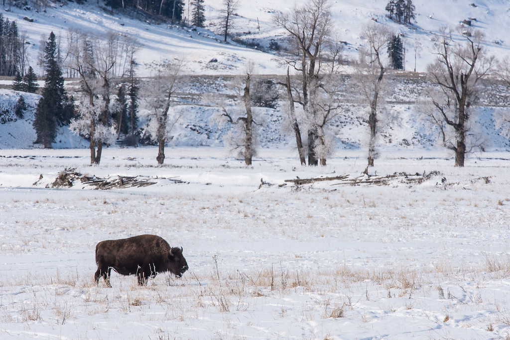 "TUESDAY, DECEMBER 1, 2015<br /> <br /> WYOMING 4974<br /> <br /> ""Lamar Valley Bison""<br /> <br /> A snowy scene from the Lamar Valley in Yellowstone National Park.  There was a large group of bison in the meadow but this one decided to wander off on its own away from the rest of the group. I liked how it looked with the frosty trees in the background.<br /> <br /> Camera: Nikon D750<br /> Lens: Nikon 300mm f/4 PF and Nikon 1.4x III teleconverter<br /> Focal length: 420mm<br /> Shutter speed: 1/400<br /> Aperture: f/16<br /> ISO: 400"