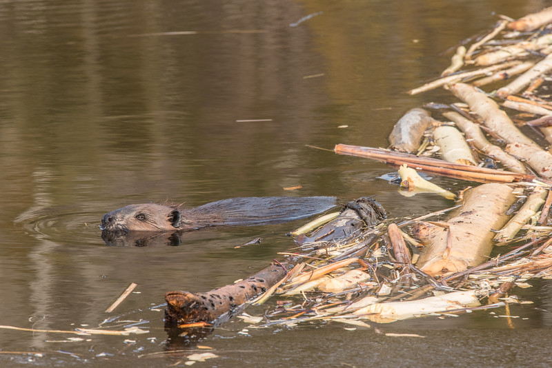 """FRIDAY, DECEMBER 18, 2015<br /> <br /> BEAVER 5173<br /> <br /> """"A beaver and his stash""""<br /> <br /> A local Grand Portage beaver with his stash of sticks and logs.  Photographed a couple of weeks ago just before Little Lake began to freeze up.  <br /> <br /> Camera: Nikon D750<br /> Lens: Nikon 300mm f/4 PF and Nikon 1.4x III teleconverter<br /> Focal length: 420mm<br /> Shutter speed: 1/320<br /> Aperture: f/11<br /> ISO: 1000"""