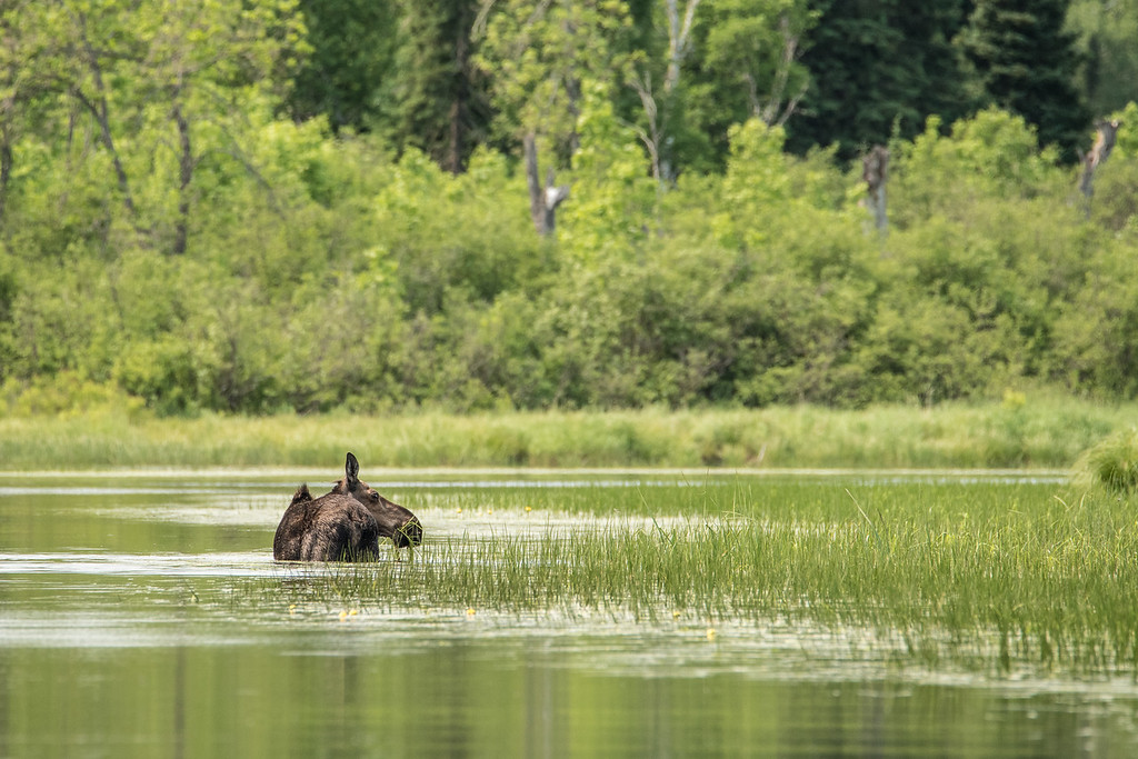 "SATURDAY, JULY 4, 2015<br /> <br /> MOOSE 6649<br /> <br /> ""Cow Moose, Pigeon River""<br /> <br /> During an afternoon adventure on the Pigeon River earlier this week we saw a plethora of wildlife.  Our list of sightings included deer, otter, beaver, trumpeter swans, many beautiful varieties of damselflies, several families of ducks and always a highlight of an outdoor adventure, a moose!  We came around a bend in the river and this cow moose was chest deep in the water feeding on the vegetation along the river's edge.  Luckily she was upwind of us and facing the other way so she was not immediately aware of our presence.  <br /> <br /> We watched her feed for at least 10 minutes, then the wind started to change and she must have caught our scent because she turned and looked directly at us.  She stared at us for quite a while, then slowly walked up onto the bank on the side of the river where she stared at us for another minute or two, then turned and walked off into the woods.  As she retreated, we were just barely able to see the tops of another set of ears following her into the woods. She had a calf that had been waiting in the very tall grass along the edge of the river!  <br /> <br /> It's always exciting to see a moose cow and calf, I just wish I would have been able to get a photo of the both of them.  Still, it's always a treat to see them even if I'm not able to get a photo.  Hopefully you are able to have some outdoor adventures on this 4th of July weekend and perhaps catalogue some fun wildlife sightings of your own!<br /> <br /> FYI - This moose did have a tracking collar around its neck, as well as a tag in each ear.  I took several pictures that showed the collar and both tags, but in the end I chose to share this picture because you can not see the collar or the tags.  It seemed like a much more ""natural"" image because you cannot see the human influence on the animal.  I understand the activity of collaring the moose so we can track their movements and then use that data to better manage our lands for the benefit of moose, but I still prefer to make photographs of non-collared moose.  I feel fortunate to have been able to get this angle where you can not see those things on the animal.<br /> <br /> Camera: Nikon D750<br /> Lens: Tamron SP 150-600mm<br /> Focal length: 600mm<br /> Shutter speed: 1/1000<br /> Aperture: f/11<br /> ISO: 1000"