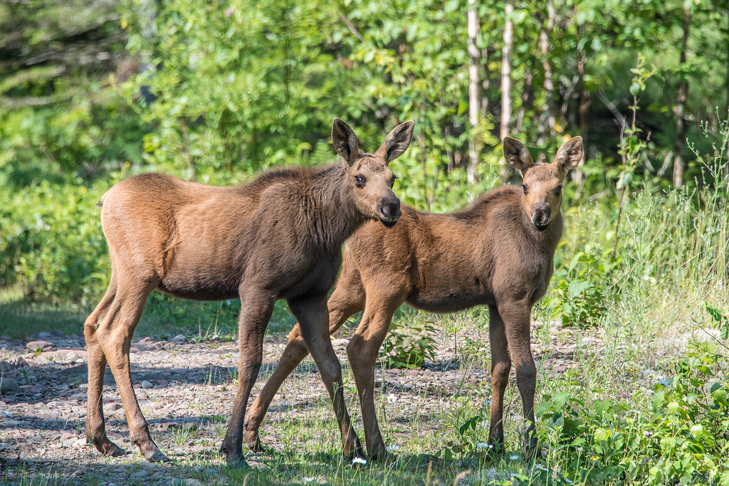 "SATURDAY, JULY 18, 2015<br /> <br /> MOOSE 7142<br /> <br /> ""Twin Moose Calves, Out for a Walk!""<br /> <br /> Two young moose calves take a walk in the Minnesota northwoods of Cook County on a warm, sunny morning.  Hopefully you are able to get out on this beautiful weekend and take your own walk in the woods :-)<br /> <br /> Camera: Nikon D750<br /> Lens: Tamron SP 150-600mm<br /> Focal length: 600mm<br /> Shutter speed: 1/500<br /> Aperture: f/11<br /> ISO: 1000"