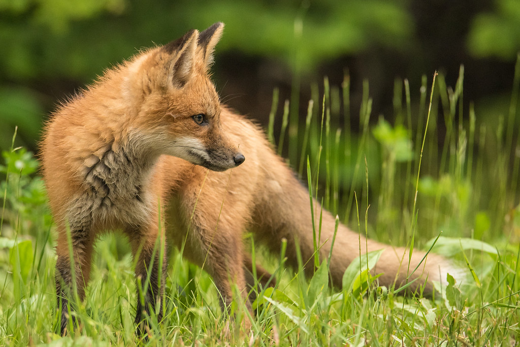 "MONDAY, JULY 20, 2015<br /> <br /> FOX 6789<br /> <br /> ""Young fox strikes a pose""<br /> <br /> Here is an adorable young fox to start off your Monday morning!  It almost seemed as though he was posing for the camera in this shot :-)<br /> <br /> Camera: Nikon D750<br /> Lens: Tamron SP 150-600mm<br /> Focal length: 460mm<br /> Shutter speed: 1/400<br /> Aperture: f/8<br /> ISO: 3200"