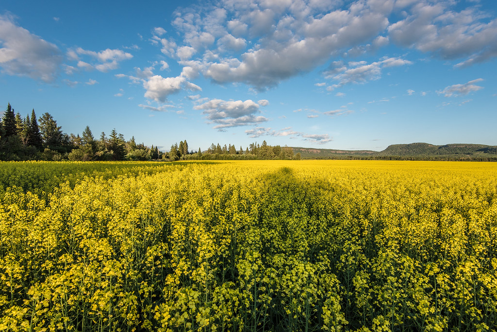 "MONDAY, JULY 27, 2015<br /> <br /> ONTARIO 7277<br /> <br /> ""Ontario Canola Field""<br /> <br /> Last week after we picked strawberries at Belluz Farms we stopped along the edge of this beautiful canola field just outside of Thunder Bay, Ontario.  It's funny... we go to Thunder Bay quite frequently throughout the year and I don't remember ever seeing these vibrant yellow fields before.  I'm sure this isn't the first year they've been like this, so it's probably just a case of me never driving by when they've been in bloom before.  In any case, we were shocked by the huge fields of yellow and how beautiful they were.  Definitely not something you see in northeast Minnesota :-)<br /> <br /> Camera: Nikon D750<br /> Lens: Nikon 16-35mm f/4<br /> Focal length: 16mm<br /> Shutter speed: 1/160<br /> Aperture: f/16<br /> ISO: 200"