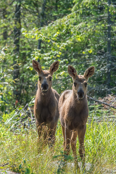 "WEDNESDAY, JULY 15, 2015<br /> <br /> MOOSE 7201<br /> <br /> ""Curious Calves!""<br /> <br /> A pair of moose calves that I was lucky enough to come across.  Aren't they cute!<br /> <br /> Camera: Nikon D750<br /> Lens: Tamron SP 150-600mm<br /> Focal length: 600mm<br /> Shutter speed: 1/500<br /> Aperture: f/13<br /> ISO: 1000"