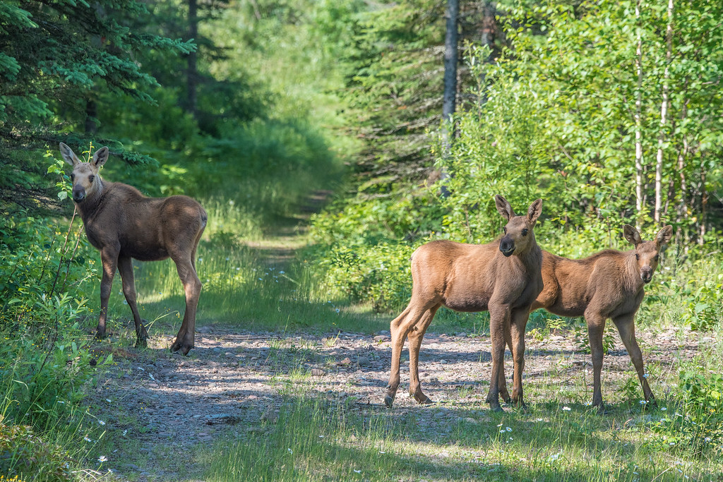 "SATURDAY, JULY 18, 2015<br /> <br /> MOOSE 7139<br /> <br /> ""Moose Triplets""<br /> <br /> Here is another photo of the moose triplets that I saw earlier this week, this time a view of them from the side.  This is one of the first photos I made of them that day and was taken while I was sitting behind the wheel of our truck. They had just crossed the road in front of me and walked down into this clearing with an old road going into the woods.  I was lucky to get this shot where all 3 of them are sort of looking at me.  In most of the shots I made of them from this spot they were looking the other way.  I hope all 3 are able to survive to adulthood.  They seem to be doing well so far... I'm keeping my fingers crossed for them!<br /> <br /> Camera: Nikon D750<br /> Lens: Tamron SP 150-600mm<br /> Focal length: 380mm<br /> Shutter speed: 1/640<br /> Aperture: f/11<br /> ISO: 1000"