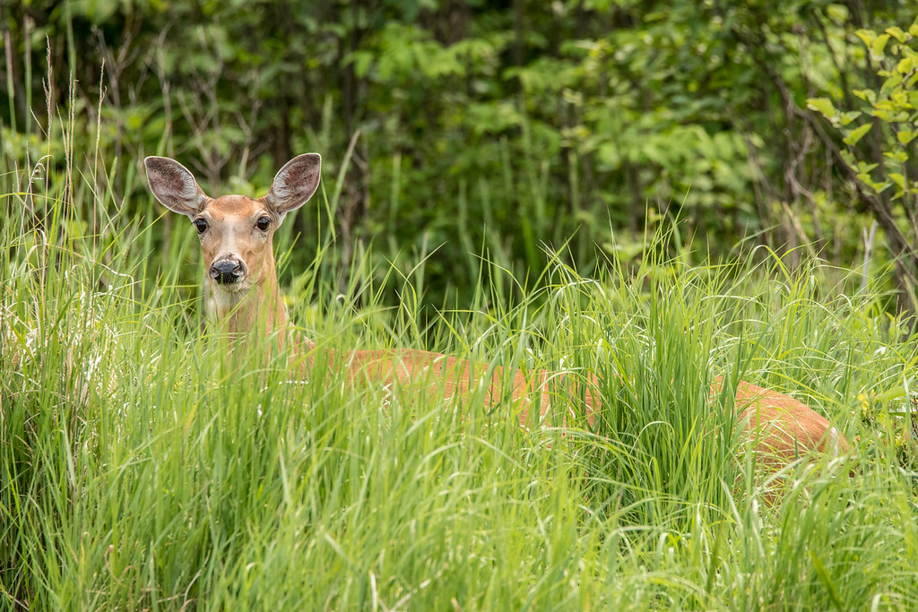 "WEDNESDAY, JULY 8, 2015<br /> <br /> ANIMALS BY LAND 6634<br /> <br /> ""Curious Deer on the Pigeon River""<br /> <br /> Here is another fun photograph that I made during my outing on the Pigeon River last week.  We didn't even notice this deer until we were right alongside it.  We had been motoring up the river and busy chatting away when I glanced over to the left just as this deer raised its head from the tall grass. I quickly shut off the motor and the deer stared at us as we drifted past.  After we went by it turned and went off into the woods.<br /> <br /> Camera: Nikon D750<br /> Lens: Tamron SP 150-600mm<br /> Focal length: 600mm<br /> Shutter speed: 1/800<br /> Aperture: f/11<br /> ISO: 1600"