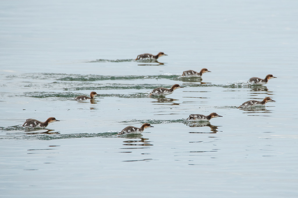 "THURSDAY, JULY 2, 2015<br /> <br /> ANIMALS BY AIR 6467<br /> <br /> ""The race is on!""<br /> <br /> Young mergansers apparently having a drag race on the waters of Grand Portage Bay in northeast Minnesota :-)<br /> <br /> Camera: Nikon D750<br /> Lens: Tamron SP 150-600mm<br /> Focal length: 600mm<br /> Shutter speed: 1/800<br /> Aperture: f/11<br /> ISO: 1000"