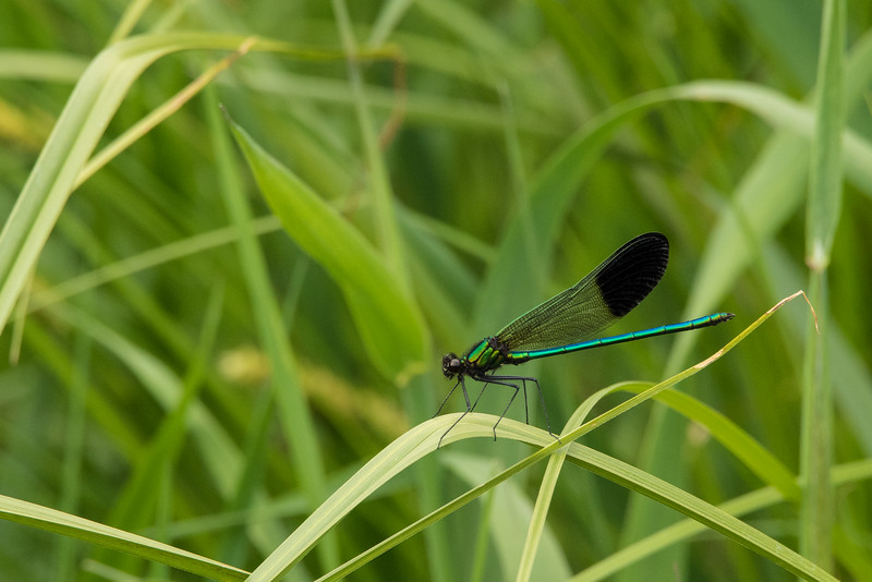 "MONDAY, JULY 6, 2015<br /> <br /> INSECTS 6695<br /> <br /> ""River Jewelwing""<br /> <br /> While looking for wildlife along the Pigeon River last week I wasn't expecting to find so much damselfly activity along the banks of the river.  In the past it seems as though the highest damselfly activity was always on really hot and sunny days.  Maybe there is no correlation there, but it seems like I've always seen the highest numbers of them on those kinds of days.  Last Wednesday, however, was not necessarily all that sunny and certainly wasn't hot.  The temp was in the mid 60's and the intensity of the sun was softened by a haze caused by the smoke of Canadian forest fires.  About halfway through our 8 mile journey on the river we noticed our first River Jewelwing darting amongst the grasses at the river's edge.  Soon we were seeing them everywhere we looked.  I've seen these damselflies before, but typically only 2 or 3 at a time.  On this day there were too many to count!  They certainly are beautiful creatures.  In my opinion they are one of the most beautiful damselflies in existence and seeing so many of them certainly makes for a memorable day on the river!<br /> <br /> Camera: Nikon D750<br /> Lens: Tamron SP 150-600mm<br /> Focal length: 600mm<br /> Shutter speed: 1/250<br /> Aperture: f/16<br /> ISO: 1600"