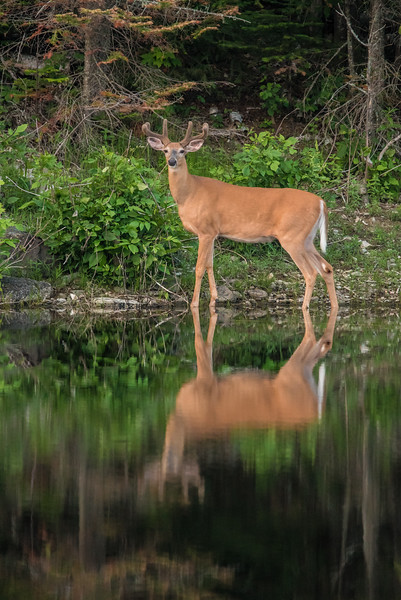 """TUESDAY, JUNE 30, 2015<br /> <br /> ANIMALS BY LAND 6476<br /> <br /> """"Reflective Pose on Turtle Lake""""<br /> <br /> Last night I went for a drive after the heavy rain showers subsided.  My hope was too see some wildlife.  I was going to hike in to a lake to see if there were was a loon family on it.  Unfortunately I never made into that lake because of a huge mud hole that I didn't feel like walking through.  Plus, the mosquitos were AWFUL!  So, I went back to the truck and decided to just drive around for a little bit and maybe I'd get lucky and see something else.  Sure enough, as I was driving past Turtle Lake in Grand Portage, I saw a nice whitetail buck standing on the opposite shore of the lake.  He was just standing there motionless, which was a good thing because I didn't have much light to work with.  It was almost 9 PM and what little daylight was left was fading fast.  <br /> <br /> I had to shoot this photo at ISO 3200 and f/8, and even then I was still only able to manage a shutter speed of 1/200 of a second with my lens at 600mm.  Generally speaking, with a telephoto lens you want your shutter speed to be at least the same as your focal length in order to get a sharp image.  With built-in image stabilization of lenses becoming more and more effective, though, we can shoot at slower and slower shutter speeds and still get acceptable sharpness.  Such was the case with this image shot with my Tamron 150-600 lens.  I'm amazed at how well this turned out, considering it was shot at 1/200 and ISO 3200 (which can also contribute to image softness).  Camera technology sure has come a long way!<br /> <br /> Camera: Nikon D750<br /> Lens: Tamron SP 150-600mm<br /> Focal length: 600mm<br /> Shutter speed: 1/200<br /> Aperture: f/8<br /> ISO: 3200"""