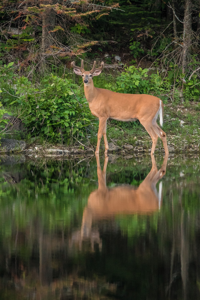 "TUESDAY, JUNE 30, 2015<br /> <br /> ANIMALS BY LAND 6476<br /> <br /> ""Reflective Pose on Turtle Lake""<br /> <br /> Last night I went for a drive after the heavy rain showers subsided.  My hope was too see some wildlife.  I was going to hike in to a lake to see if there were was a loon family on it.  Unfortunately I never made into that lake because of a huge mud hole that I didn't feel like walking through.  Plus, the mosquitos were AWFUL!  So, I went back to the truck and decided to just drive around for a little bit and maybe I'd get lucky and see something else.  Sure enough, as I was driving past Turtle Lake in Grand Portage, I saw a nice whitetail buck standing on the opposite shore of the lake.  He was just standing there motionless, which was a good thing because I didn't have much light to work with.  It was almost 9 PM and what little daylight was left was fading fast.  <br /> <br /> I had to shoot this photo at ISO 3200 and f/8, and even then I was still only able to manage a shutter speed of 1/200 of a second with my lens at 600mm.  Generally speaking, with a telephoto lens you want your shutter speed to be at least the same as your focal length in order to get a sharp image.  With built-in image stabilization of lenses becoming more and more effective, though, we can shoot at slower and slower shutter speeds and still get acceptable sharpness.  Such was the case with this image shot with my Tamron 150-600 lens.  I'm amazed at how well this turned out, considering it was shot at 1/200 and ISO 3200 (which can also contribute to image softness).  Camera technology sure has come a long way!<br /> <br /> Camera: Nikon D750<br /> Lens: Tamron SP 150-600mm<br /> Focal length: 600mm<br /> Shutter speed: 1/200<br /> Aperture: f/8<br /> ISO: 3200"