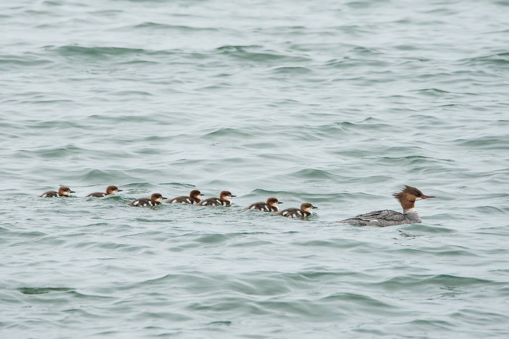 """SATURDAY, JUNE 27, 2015<br /> <br /> ANIMALS BY AIR 5970<br /> <br /> """"Merganser Family""""<br /> <br /> 'Tis the season for baby animals!  I have seen fox kits on a couple of occasions, but never for long enough to get any pictures of them.  Goslings seem to be everywhere, with several of them along the road we live as well as at the state park where I work.  There has also been a family of mergansers residing along the shoreline in front of our house and I did manage to get a shot of them the other day.  They are so cute when they are babies!  They have a tough life at first, though, with many hazards to overcome.  Usually when an animal has so many babies it is because so many of them don't survive to adulthood.  Having more increases the chances that some will survive. Personally, I hope of the best and wish that most if not all of these little mergansers survive to live a long adult life :-)<br /> <br /> Camera: Nikon D750<br /> Lens: Tamron SP 150-600mm<br /> Focal length: 600mm<br /> Shutter speed: 1/400<br /> Aperture: f/11<br /> ISO: 1600"""