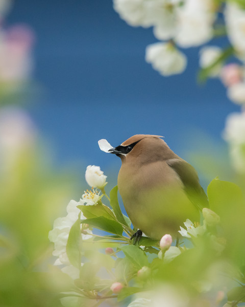 """THURSDAY, JUNE 25, 2015<br /> <br /> ANIMALS BY AIR 5965<br /> <br /> """"Waxwings in our flowering crab tree!""""<br /> <br /> For the past week we've had a lot of company hanging around in our flowering crab tree in the back yard.  A group of about a dozen waxwings have been working the tree over, actually eating the petals off the flowers.  It seemed like such an odd behavior.  It's the first time we've ever seen them doing this.  In all the years living in this location and enjoying the beauty of these trees I've never noticed waxwings on them before.  Maybe it's normal behavior for them?  Has anyone else ever noticed this before?  Whatever the case, they seem to be gone now but we sure did enjoy having them in our yard for the past week!<br /> <br /> Camera: Nikon D750<br /> Lens: Tamron SP 150-600mm<br /> Focal length: 600mm<br /> Shutter speed: 1/200<br /> Aperture: f/8<br /> ISO: 3200"""