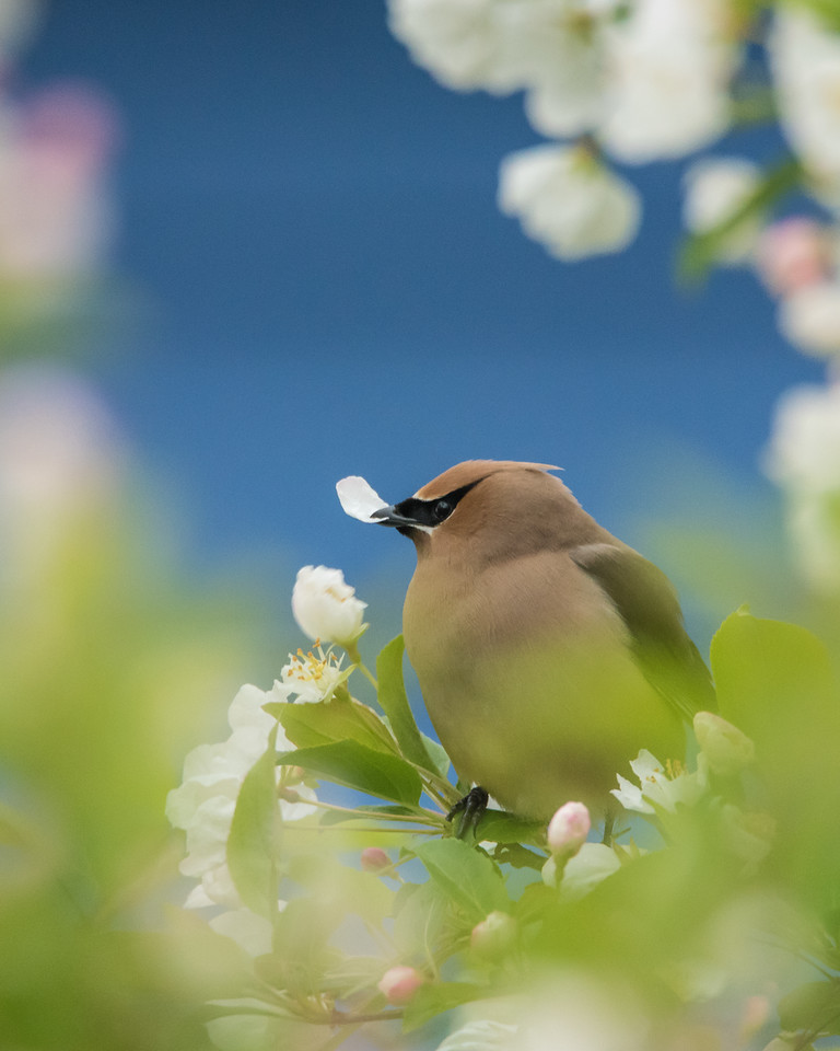 "THURSDAY, JUNE 25, 2015<br /> <br /> ANIMALS BY AIR 5965<br /> <br /> ""Waxwings in our flowering crab tree!""<br /> <br /> For the past week we've had a lot of company hanging around in our flowering crab tree in the back yard.  A group of about a dozen waxwings have been working the tree over, actually eating the petals off the flowers.  It seemed like such an odd behavior.  It's the first time we've ever seen them doing this.  In all the years living in this location and enjoying the beauty of these trees I've never noticed waxwings on them before.  Maybe it's normal behavior for them?  Has anyone else ever noticed this before?  Whatever the case, they seem to be gone now but we sure did enjoy having them in our yard for the past week!<br /> <br /> Camera: Nikon D750<br /> Lens: Tamron SP 150-600mm<br /> Focal length: 600mm<br /> Shutter speed: 1/200<br /> Aperture: f/8<br /> ISO: 3200"