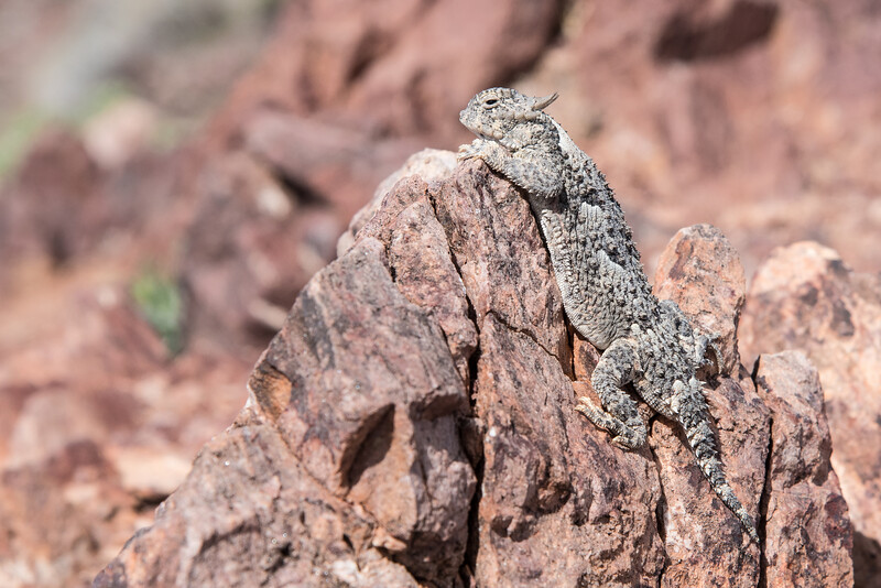 "MONDAY, MARCH 23, 2015<br /> <br /> CALIFORNIA 1475<br /> <br /> ""Horned Lizard""<br /> <br /> Jessica spotted this cute little horned lizard as we were walking down the trail to Dante's View in Death Valley National Park.  She really has an eye for spotting things.  I don't think I would have noticed this little guy if it weren't for her.  In fact, I think I might have even walked right by it once before she noticed it.  He sure was a cute little guy! We watched him for a few minutes and I made several images of him with my Tamron 150-600 lens.  This image was probably my favorite because you can see his whole body as he peers over the top of the rock.  It sure was a fun thing to see at our very first stop in Death Valley!<br /> <br /> Camera: Nikon D750<br /> Lens: Nikon 24-120mm f/4<br /> Focal length: 120mm<br /> Shutter speed: 1/640<br /> Aperture: f/11<br /> ISO: 400"