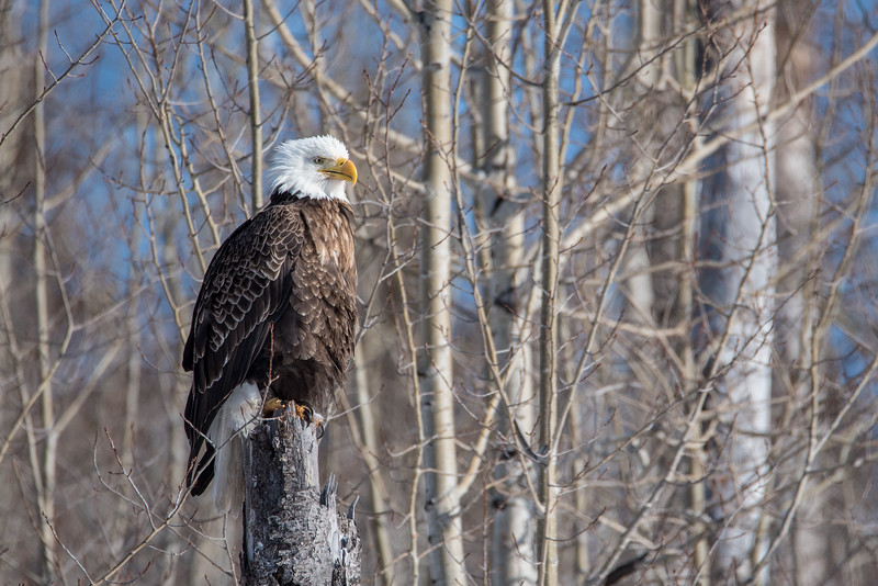 "SATURDAY, MARCH 7, 2015<br /> <br /> BALD EAGLE 0619<br /> <br /> ""Resting Eagle""<br /> <br /> Cascade River State Park, MN<br /> <br /> Camera: Nikon D750<br /> Lens: Tamron SP 150-600mm<br /> Focal length: 600mm<br /> Shutter speed: 1/2000<br /> Aperture: f/8<br /> ISO: 400"