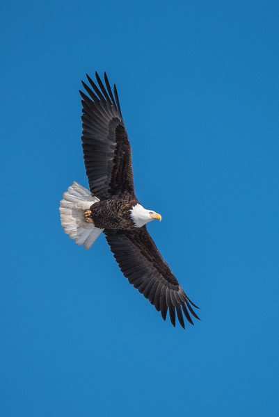 "SATURDAY, MARCH 7, 2015<br /> <br /> BALD EAGLE 0626<br /> <br /> ""Soaring Eagle""<br /> <br /> Cascade River State Park, MN<br /> <br /> Camera: Nikon D750<br /> Lens: Tamron SP 150-600mm<br /> Focal length: 600mm<br /> Shutter speed: 1/2500<br /> Aperture: f/8<br /> ISO: 400"
