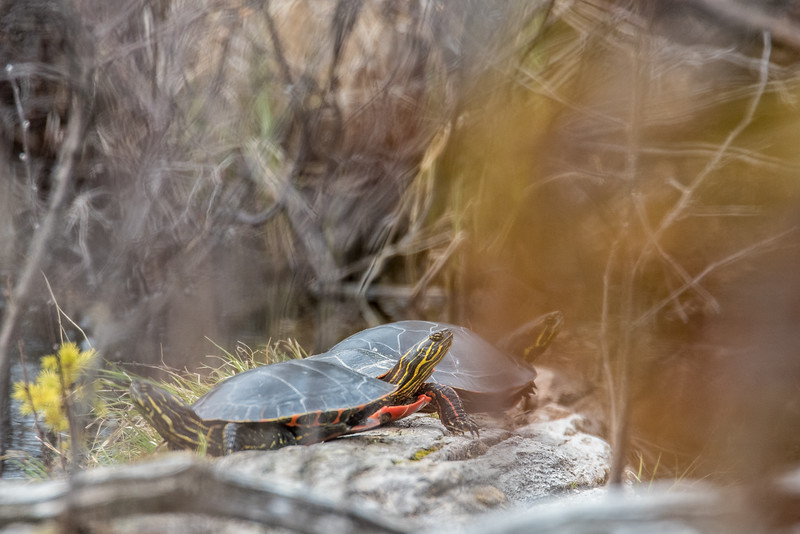 "SATURDAY, MAY 9, 2015<br /> <br /> ANIMALS BY LAND 4997<br /> <br /> ""Painted Turtles near North Fowl Lake""<br /> <br /> A quick little wildlife capture taken on a backroads drive in Ontario earlier this week.  This was taken right alongside the ""road"" into North Fowl Lake, at a small pond 1/4 mile from the lake. I say ""road"" because it's more like a trail at that point.  It's very rough and very narrow, just wide enough for the truck to drive down without scraping the trees on either side.  There were actually 6 turtles sitting on logs in this spot, but 3 of them were behind too much brush and I couldn't get a shot that included them. It sure was a fun find coming across these little guys!<br /> <br /> Camera: Nikon D750<br /> Lens: Tamron SP 150-600mm<br /> Focal length: 600mm<br /> Shutter speed: 1/400<br /> Aperture: f/11<br /> ISO: 1600"