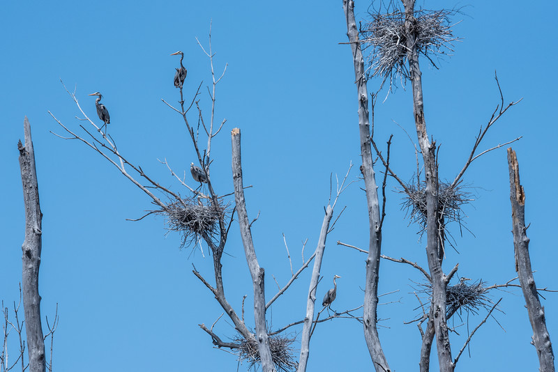 """WEDNESDAY, MAY 6, 2015<br /> <br /> HERON 4715<br /> <br /> """"Great Blue Heron Rookery""""<br /> <br /> Here is a photograph that shows a portion of the Great Blue Heron rookery.  There are 6 herons visible in this photo, although on one of them all you can see is its beak sticking out from behind a tree.  There are 17 total nests in this rookery and also an osprey nest that is in the same area.  It sure is a fun place to sit with a camera for a few hours!<br /> <br /> Camera: Nikon D750<br /> Lens: Tamron SP 150-600mm<br /> Focal length: 320mm<br /> Shutter speed: 1/1250<br /> Aperture: f/16<br /> ISO: 800"""