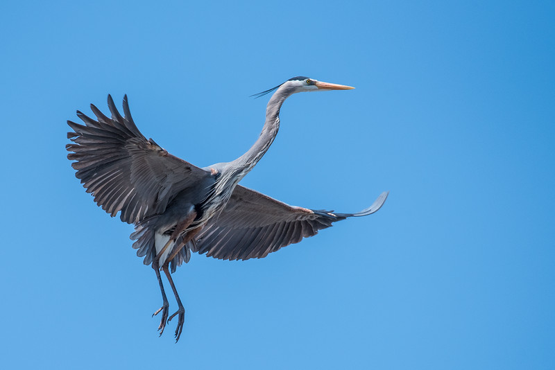 """WEDNESDAY, MAY 6, 2015<br /> <br /> HERON 4723<br /> <br /> """"Graceful Great Blue Heron""""<br /> <br /> Yesterday I went to visit a Great Blue Heron rookery to see if there was any sign of the young ones yet.  I wasn't betting on it, since it is still early spring.  Sure enough, I didn't see any young ones but there must have been eggs to tend to as the adults were all being very attentive to the nests.  I caught this one just as it was returning to the nest from a short flight.<br /> <br /> Camera: Nikon D750<br /> Lens: Tamron SP 150-600mm<br /> Focal length: 600mm<br /> Shutter speed: 1/2000<br /> Aperture: f/10<br /> ISO: 800"""