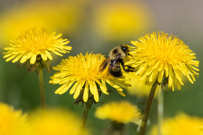 "FRIDAY, MAY 29, 2015<br /> <br /> INSECTS 5577<br /> <br /> ""Bumblebee and Dandelions""<br /> <br /> Most people seem to dislike dandelions.  Not me, I love them!  Mostly because the bees love them.  Ever since we got our honeybees a few summers ago I stopped mowing our dandelions.  On any given day when the dandelions are in bloom, our yard is filled not only with our own honeybees but with all the native bees  as well.  The ground literally buzzes with life!  As I walk around the yard I can hear the buzz of the bees as they diligently work to collect the pollen from the flowers.  I like to get right down on the ground with them and watch as they work their way over the flowers.  I found this nice arrangement of three flowers and waited for a bee to land on them.  I knew it was only a matter of time before one would wander into my shot.  I was hoping it would be one of our honeybees, but instead this bumblebee was the first to come along.  He worked each of the three flowers and I waited until he made his way from the middle flower to the one on the right, then I tripped the shutter and made this photo.  <br /> <br /> Camera: Nikon D750<br /> Lens: Tamron SP 150-600mm<br /> Focal length: 600mm<br /> Shutter speed: 1/4000<br /> Aperture: f/10<br /> ISO: 1600"