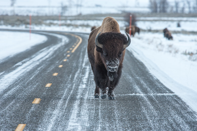 "SUNDAY, NOVEMBER 29, 2015<br /> <br /> WYOMING 4801<br /> <br /> ""Bison Highway - You Shall Not Pass!""<br /> <br /> We are now in the northeast section of Yellowstone National Park, the only area of the park with a road that is open all winter.  This afternoon we drove in as far as the Lamar Valley hoping to see wildlife.  We saw several elk, mule deer, antelope, a coyote and at least a few hundred bison!  Our favorite was this big guy which was walking right down the road towards us.  A ""classic"" Yellowstone image!<br /> <br /> Camera: Nikon D750<br /> Lens: Nikon 300mm f/4 PF and Nikon 1.4x III teleconverter<br /> Focal length: 420mm<br /> Shutter speed: 1/320<br /> Aperture: f/8<br /> ISO: 800"