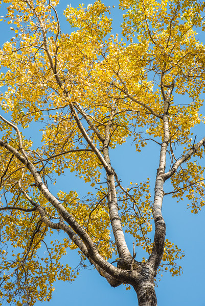 "MONDAY, OCTOBER 12, 2015<br /> <br /> AUTUMN 3111<br /> <br /> ""Aspen Color""<br /> <br /> A beautiful and interestingly-shaped aspen tree that caught my eye while hiking in Grand Portage State Park.<br /> <br /> Camera: Nikon D750<br /> Lens: Nikon 24-120mm f/4<br /> Focal length: 85mm<br /> Shutter speed: 1/250<br /> Aperture: f/11<br /> ISO: 400"
