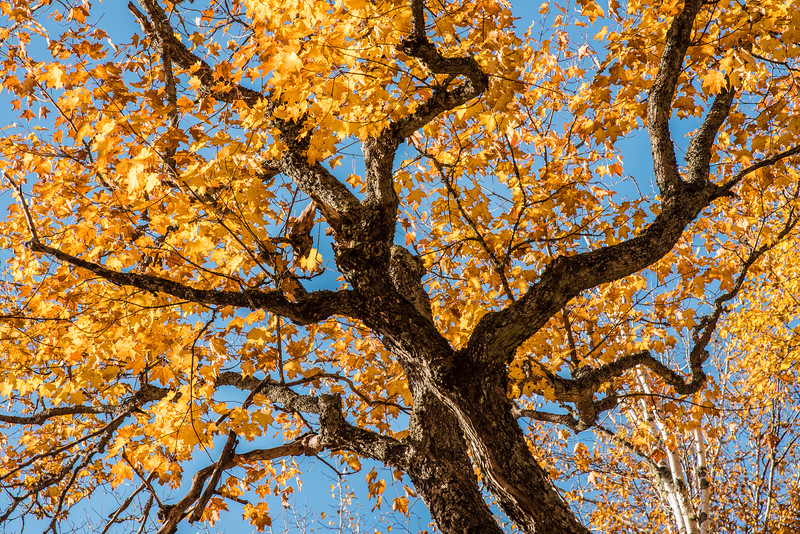 "THURSDAY, OCTOBER 15, 2015<br /> <br /> AUTUMN 3134<br /> <br /> ""Maple Abstract""<br /> <br /> Maple trees fascinate me.  They are probably my favorite tree to photograph.  They provide the most mesmerizing colors during the autumn season and when the leaves are gone they make for some of the most intriguing silhouettes for photographing against the night sky.  The maple forest is a thing of beauty and I love every moment that I am able to spend with these incredible trees.<br /> <br /> Camera: Nikon D750<br /> Lens: Nikon 24-120mm f/4<br /> Focal length: 120mm<br /> Shutter speed: 1/320<br /> Aperture: f/11<br /> ISO: 400"