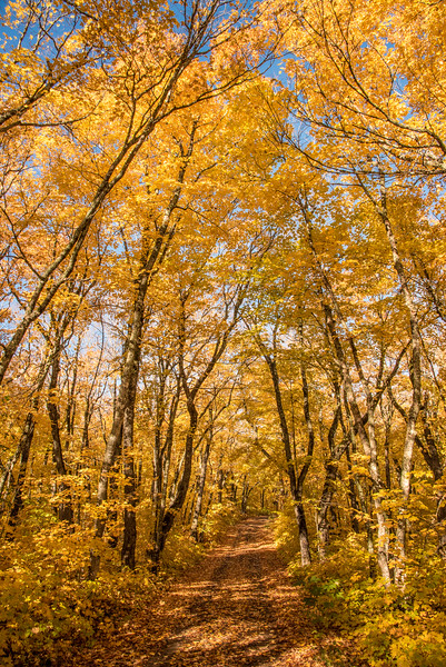 """SATURDAY, OCTOBER 10, 2015<br /> <br /> AUTUMN 2966<br /> <br /> """"The Maple Drive""""<br /> <br /> There's nothing quite like a morning drive through some of the most beautiful autumn forest in Minnesota to start your day!  Before work yesterday I took a drive up into the woods to check on the leaf colors.  They were awesome!  So was the wind, which was doing everything it could to knock all the leaves off the trees.  I'm sure there are still some leaves left, but they're going to be dropping fast now so get out there and enjoy the colors while they last!<br /> <br /> Camera: Nikon D750<br /> Lens: Nikon 24-120mm f/4<br /> Focal length: 24mm<br /> Shutter speed: 1/125<br /> Aperture: f/16<br /> ISO: 800"""