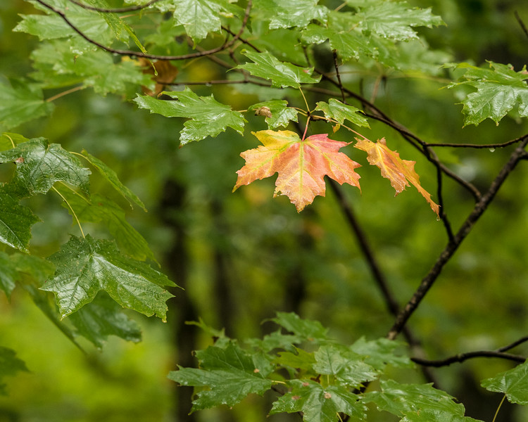 "THURSDAY, SEPTEMBER 24, 2015<br /> <br /> AUTUMN 0799<br /> <br /> ""The first to change""<br /> <br /> While out looking for fall colors the other day I came across this pair of maple leaves that had changed color before all the other leaves on the tree were even thinking about changing.  I thought it made for an interesting photo to have the little bit of autumn color surrounded by so much green.  It was a rainy afternoon as well which gave some added texture to the leaves.<br /> <br /> Camera: Nikon D750<br /> Lens: Tamron SP 150-600mm<br /> Focal length: 260mm<br /> Shutter speed: 1/80<br /> Aperture: f/10<br /> ISO: 1600"