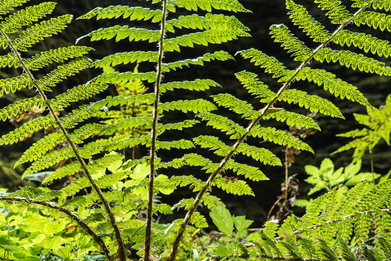 "FRIDAY, SEPTEMBER 18, 2015<br /> <br /> MACRO 0439<br /> <br /> ""Canyon Fern - Kadunce River Gorge""<br /> <br /> A beautiful fern that I found and photographed on the canyon walls of the Kadunce River gorge earlier this week.<br /> <br /> Camera: Nikon D750<br /> Lens: Nikon 24-120mm f/4<br /> Focal length: 120mm<br /> Shutter speed: 0.4 seconds<br /> Aperture: f/16<br /> ISO: 400"