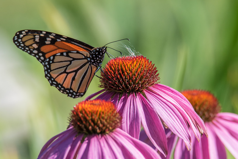 "FRIDAY, SEPTEMBER 11, 2015<br /> <br /> INSECTS 9948<br /> <br /> ""Coneflower Monarch""<br /> <br /> The monarch butterflies have sure been enjoying our coneflowers as they pass through this September!  It's such a treat to have them hanging around in our yard.  Jessica wanted to create a yard that is a haven for bees, birds and butterflies... it seems as though her vision has been realized!  First we had the hummingbirds hanging around on the lilies, now we have monarchs on the coneflowers.  The bees are enjoying all the flowers as well!  It definitely makes for some fun photography right in our own yard :-)<br /> <br /> Camera: Nikon D750<br /> Lens: Tamron SP 150-600mm<br /> Focal length: 600mm<br /> Shutter speed: 1/1000<br /> Aperture: f/11<br /> ISO: 1000"