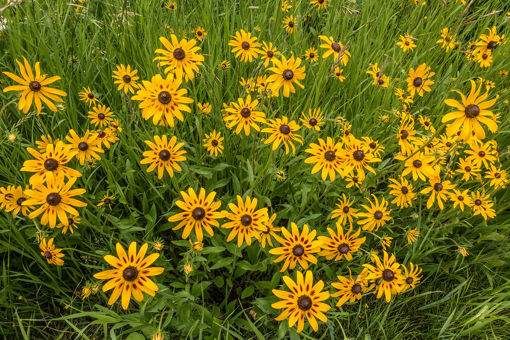 "SATURDAY, AUGUST 6, 2016<br /> <br /> MACRO 01361<br /> <br /> ""Black-Eyed Susans!""<br /> <br /> The Black-Eyed Susans are blooming and they are so beautiful!  They are another of my favorite flowers :-)<br /> <br /> Camera: Sony DSC-RX100M3<br /> Focal length: 24mm<br /> Shutter speed: 1/160<br /> Aperture: f/6.3<br /> ISO: 400"