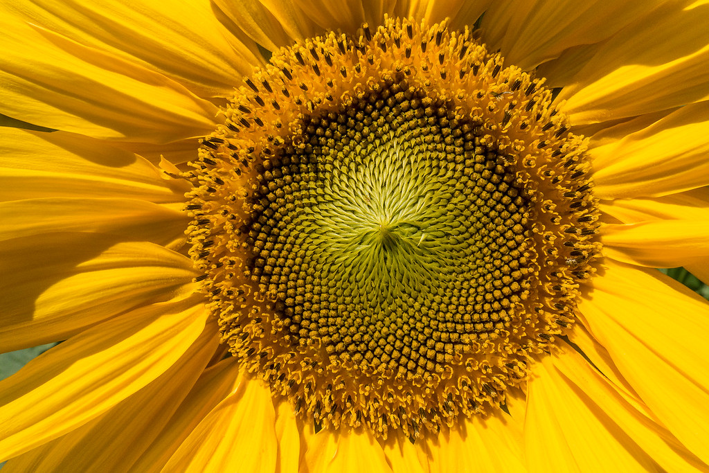 "MONDAY, AUGUST 22, 2016<br /> <br /> MACRO 02078<br /> <br /> ""Sunflower Fascination""<br /> <br /> Sunflowers are amazing.  Not only can they grow to be absolutely HUGE, but they are very beautiful as well and have some of the most interesting patterns I've ever seen in the head of a flower.  I get mesmerized when I stared at the pattern in the head of this particular sunflower.  I find it endlessly fascinating!<br /> <br /> Camera: Sony DSC-RX100M3<br /> Focal length: 24mm<br /> Shutter speed: 1/1600<br /> Aperture: f/8<br /> ISO: 400"