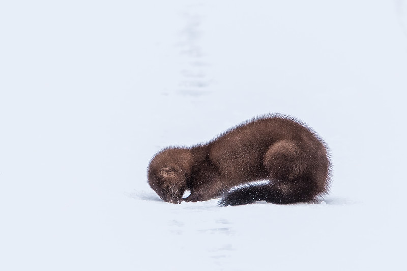 """MONDAY, JANUARY 4, 2016<br /> <br /> ANIMALS BY LAND 5842<br /> <br /> """"Fuzzy Mink""""<br /> <br /> I'm not sure what this little animal was after, but it was trying to dig through the hard packed snow on a roadway within the Superior National Forest.  It was so intent on what it was doing that I was able to sneak up to within 20 feet of it to take its picture.<br /> <br /> Camera: Nikon D750<br /> Lens: Tamron SP 150-600mm<br /> Focal length: 600mm<br /> Shutter speed: 1/640<br /> Aperture: f/11<br /> ISO: 800"""