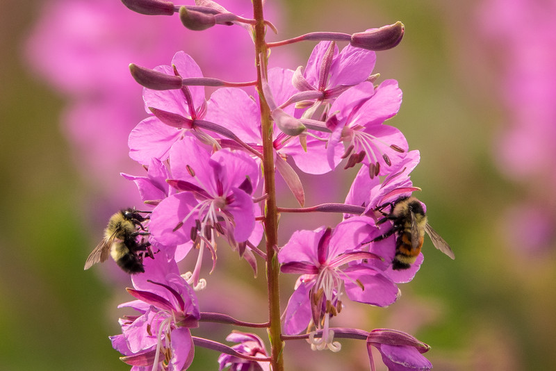 "SUNDAY, JULY 31, 2016<br /> <br /> INSECTS 00541<br /> <br /> ""Bumble Bees and Fireweed""<br /> <br /> A pair of bumble bees enjoying a patch of fireweed along Highway 61 just north of Grand Marais, MN.  I was on my way to Grand Marais when I noticed this beautiful patch of fireweed.  What I didn't know when I pulled over to take pictures of the flowers is that the patch was filled with hundreds of bumble bees.  The bees were really working the flowers over.  They only stayed on one flower for a few seconds at a time, so it was difficult to get a good photograph of them.  I spent about an hour photographing the bees.  It was challenging but fun!<br /> <br /> Camera: Sony DSC-RX10M3<br /> Focal length: 600mm<br /> Shutter speed: 1/1000<br /> Aperture: f/4<br /> ISO: 200"