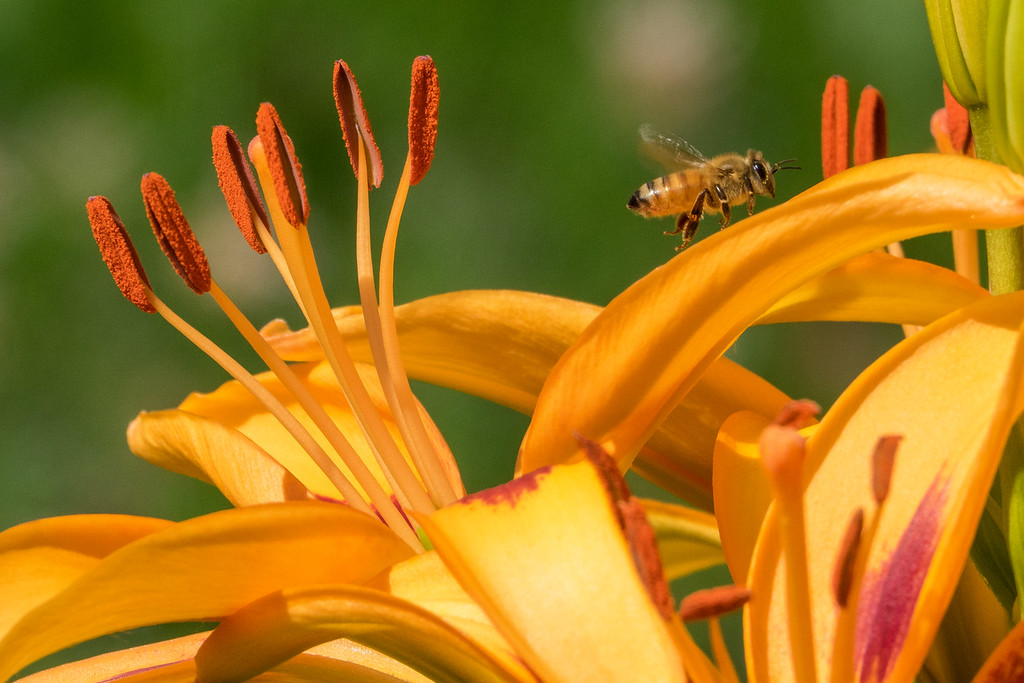 "FRIDAY, JULY 22, 2016<br /> <br /> INSECTS 00264<br /> <br /> ""Lily Honey Bee""<br /> <br /> The hummingbirds love our lilies... so glad to see that our honey bees love them too :-)<br /> <br /> Camera: Sony DSC-RX10M3<br /> Focal length: 600mm<br /> Shutter speed: 1/1000<br /> Aperture: f/8<br /> ISO: 400"