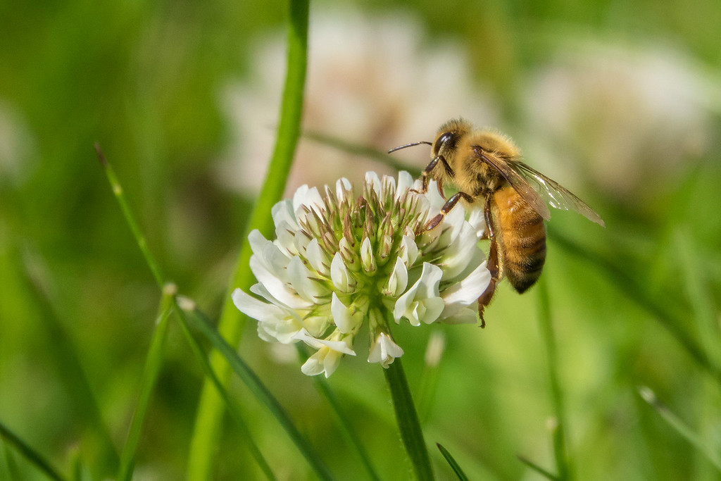 "WEDNESDAY, JULY 20, 2016<br /> <br /> INSECTS 00299<br /> <br /> ""Honey Bee on Clover""<br /> <br /> One of our honey bees enjoying the clover in our yard :-)  Each year I leave patches of wild flowers un-mowed so that the honey bees from our hive can take full advantage of them.  Right now we have a lot of clover and birds foot trefoil blooming around the yard and the bees are all over them... both the honey bees and the native bees.  Especially the bumble bees!  I don't think I've ever seen so many bumble bees in the yard as I have in the past two days.  It sure is fun to have all these busy bees buzzing around the yard!<br /> <br /> Camera: Sony DSC-RX10M3<br /> Focal length: 599mm<br /> Shutter speed: 1/1250<br /> Aperture: f/8<br /> ISO: 800"